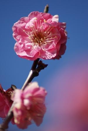 広島広域公園の梅
