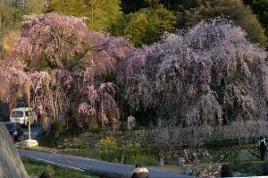 2010神原のしだれ桜