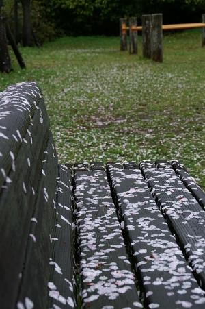 雨の日のさくら