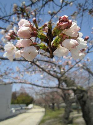 桜あれこれ