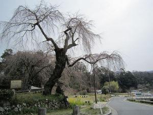 神原の桜情報