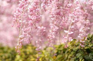 緑化植物公園の桜