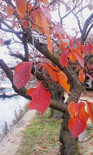 広島・桜の紅葉