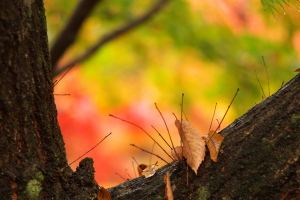 雨の日の紅葉は