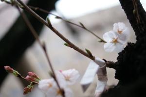 白神社の桜