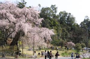 咲・神原のしだれ桜