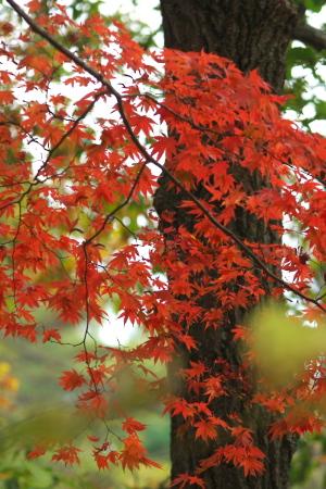 まんさく紅葉