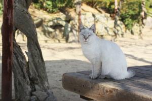 尾道の白いネコ