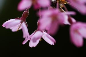 土曜日の桜