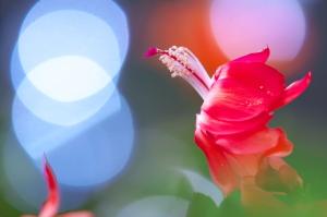 クリスマスの花々
