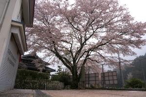 奥畑分校の桜