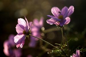 秋の朝露花