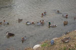 古川の鳥たち