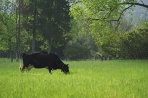 牛を撮りに