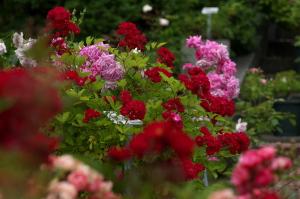 植物公園のバラ