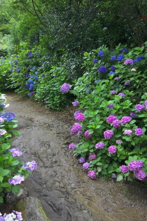 観音寺の紫陽花