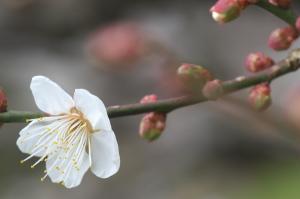 梅を撮りに・・・
