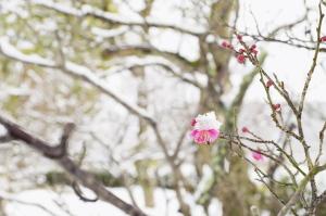広域公園の雪梅
