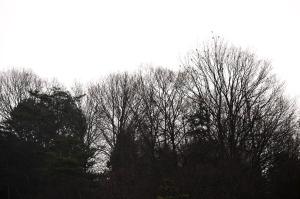 ロウバイ&冬木立