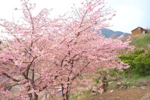 県民の浜・河津桜