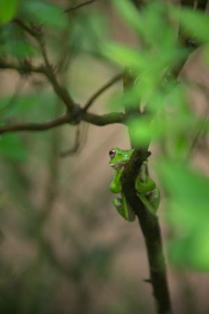 吉水園のモリアオガエル