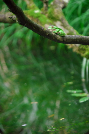 加計のモリアオガエル