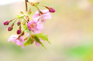春を告げる河津桜