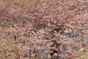 県民の浜・桜とメジロ