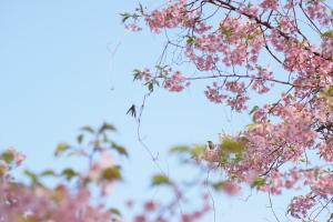 島の河津桜