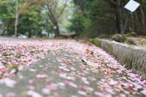 緑化センターの桜