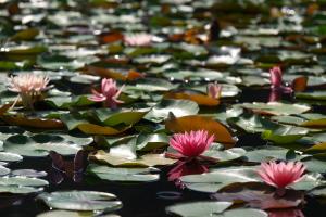 蛇の池の睡蓮