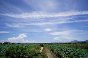 南岩国のレンコン畑
