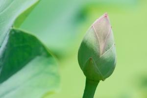 レンコンの花