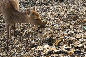 カキを食べる鹿