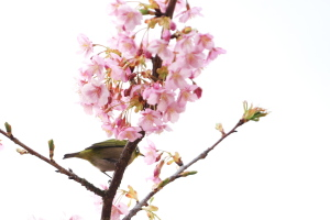 旧・河津桜とメジロ