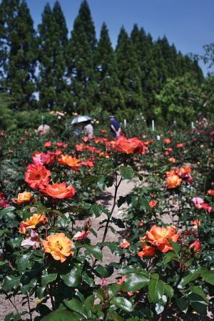 湧永満之記念庭園のバラ