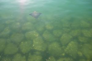 エイの遊泳