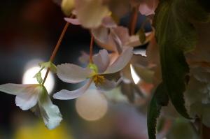 夜間開園の花
