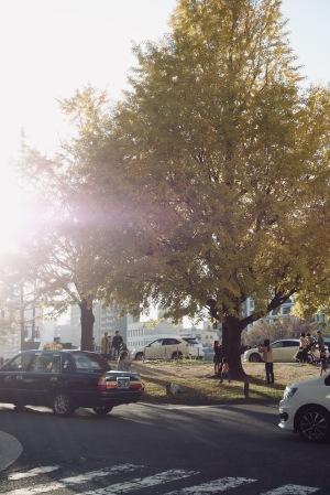 平和大通り沿いの大銀杏