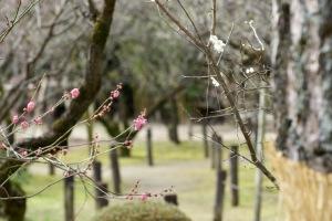縮景園の梅