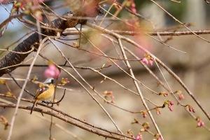 速報!県民の浜・河津桜