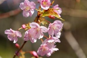昨日の県民の浜・河津桜