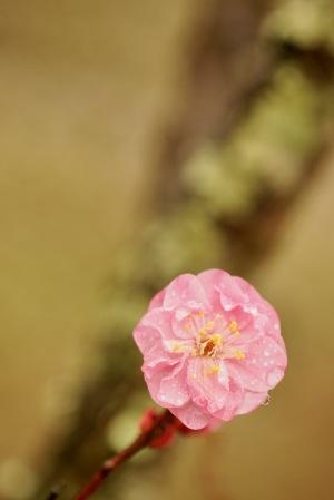 ちゅーピーパークの梅