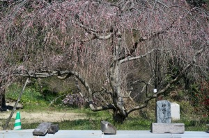 御調&神原の桜レポ