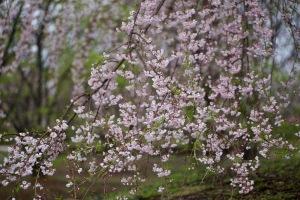 こころの枝垂桜通り