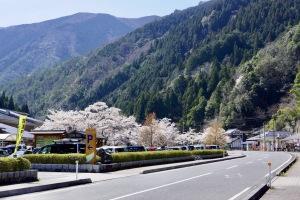 湯来温泉街の桜