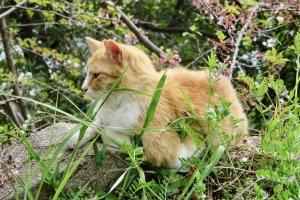 黄金山の猫