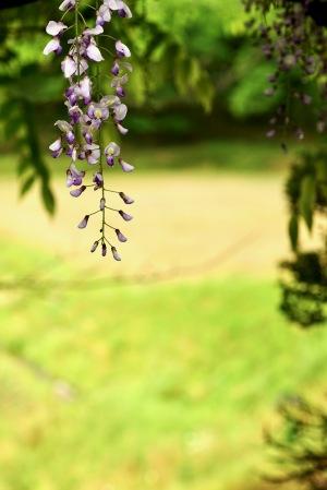 藤の花Photo