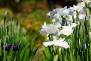 岩国の花菖蒲園