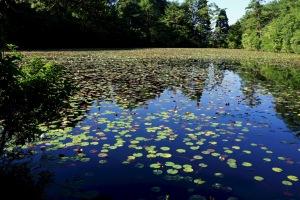 蛇の池スイレン